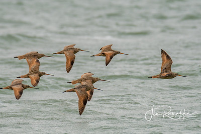 Marrbled Godwits