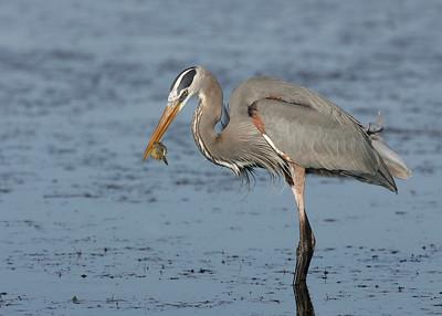 Great Blue Heron (Ardea herodias) - Florida (US)