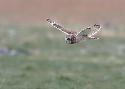 Short-eared owl (Asio flammeus) - Velduil - Uitkerkse Polder (Belgium)