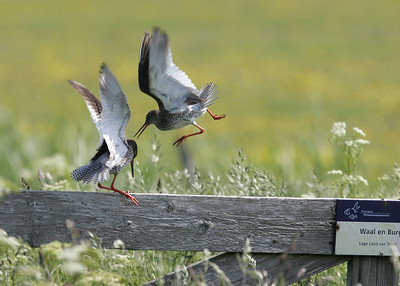 Common Redshank (Tringa totanus) - tureluur -  Texel (Netherlands)