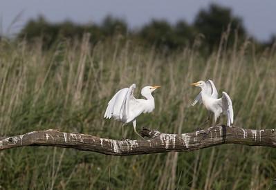 Cattle egret (Bubulcus ibis) - koereiger - Brennen (France)
