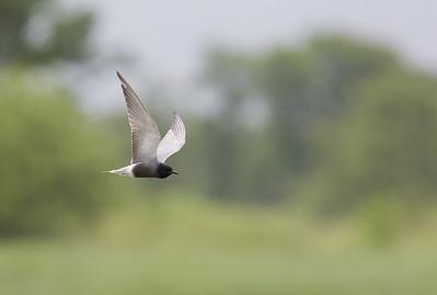 Black tern  (Chlidonias niger) - zwarte stern - De Wieden (Netherlands)