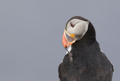 Atlantic Puffin (Fratercula arctica) - papegaaiduiker - Fair Isle  (Shetlands)