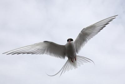 Arctic tern (Sterna paradisaea) - noordse stern - Svalbard
