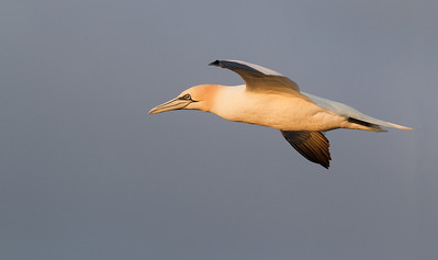 Northern Gannet (Morus bassanus) - Jan van Gent - North Sea