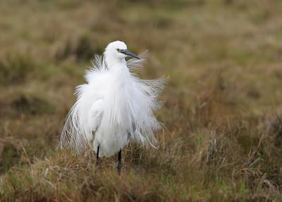 Little Egret (Egretta garzetta) - kleine zilverreiger - Uitkerkse Polder (Belgium)