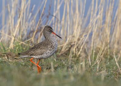 Common Redshank (Tringa totanus) - tureluur - Uitkerkse Polder (Belgium)