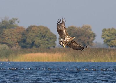 White-tailed Eagle (Haliaeetus albicilla) - Zeearend - Estuary of the Oder (Poland)