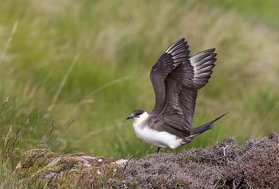 Parasitic Jaeger (Stercorarius parasiticus) - Handa Island (Scotland)