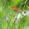JHP 20170818-16890 gulf fritillary butterfly