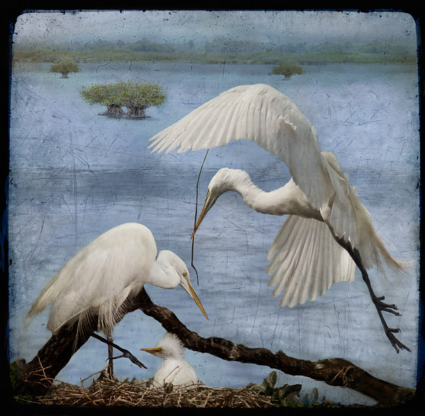 Peaceful Egret Family