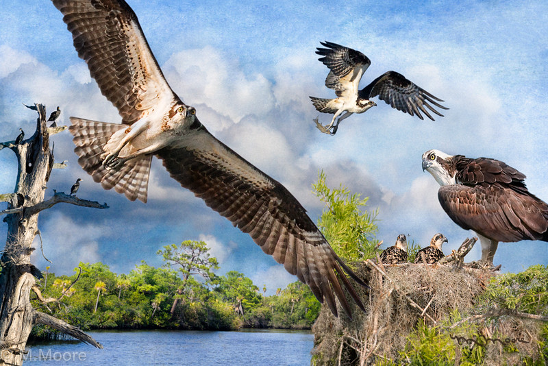 "Osprey ""Fisher Kings of the Loxahatchee"""