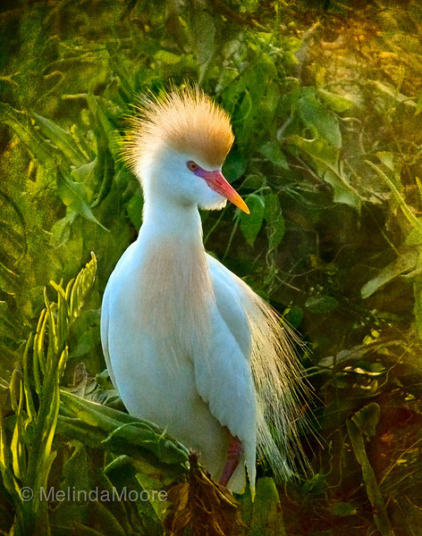 Crowned Cattle Egret