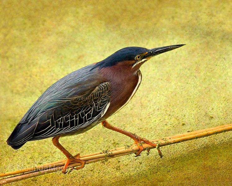 Green Heron Balance