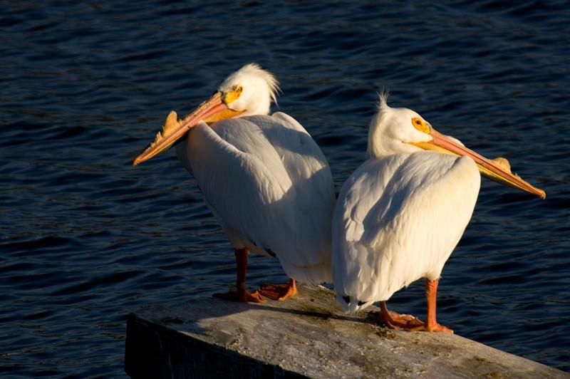 White Pelicans - Rock River Dixon, Illinois