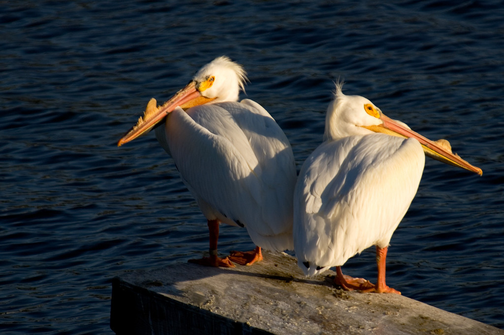 White Pelicans - Rock River Dixon, Illinois