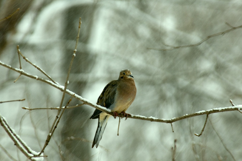 Morning Dove - My Yard