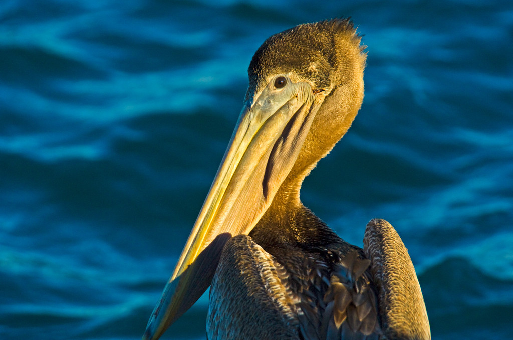 Brown Pelican - Hucthinson Island, FL