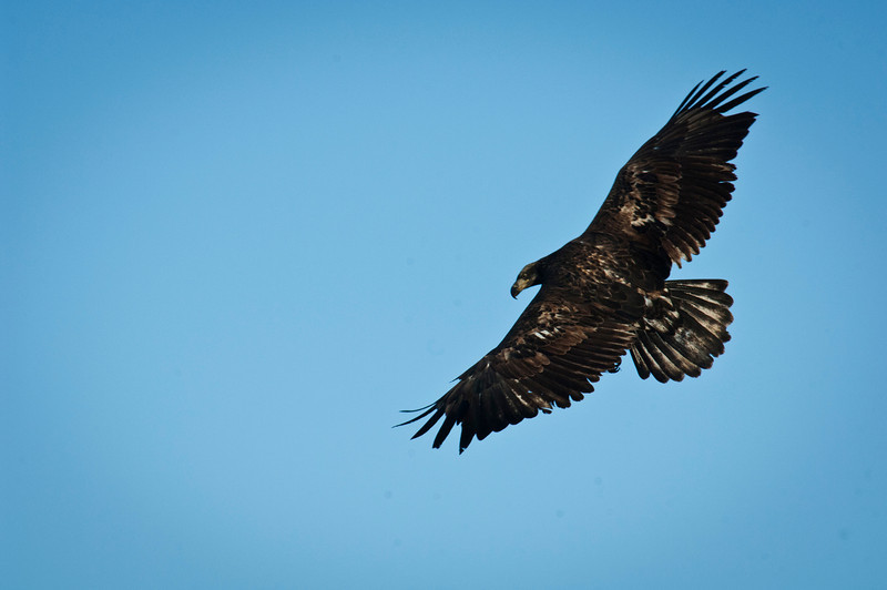 Juvenile Eagles - Rock River - Dixon, Il