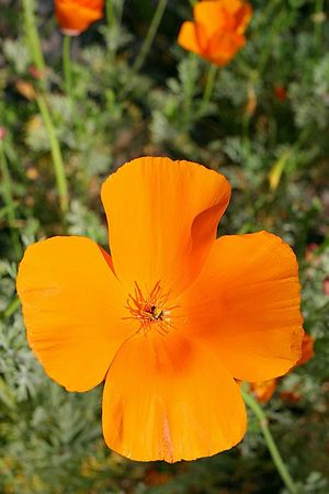 California poppy flower growing in the Wilder Ranch State Park, California.