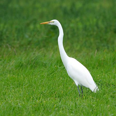 Great Egret (aka Common Egret, <i>Ardea albas, Grande Aigrette, Silberreiher) in the Wilder Ranch State park, California.