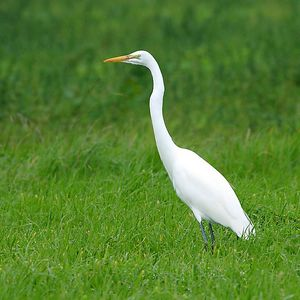 Great Egret (aka Common Egret, Ardea albas, Grande Aigrette, Silberreiher) in the Wilder Ranch State park, California.