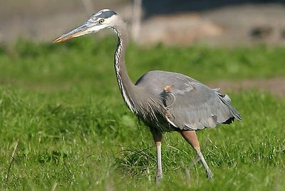 Great Blue Heron (Ardea herodias, Grand Héron, Kanadareiher) in Santa Cruz, California.