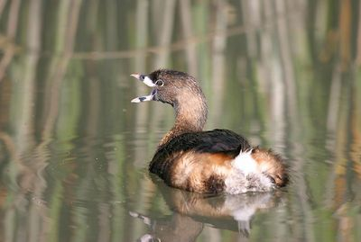 Pied-Billed Grebe (Podilymbus podiceps, Grèbe à bec bigarré, Bindentaucher) displayed here harbors breeding-season colors.