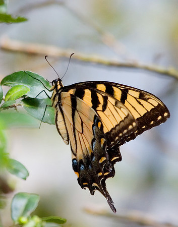 Eastern Tiger swallowtail, Central Texas.