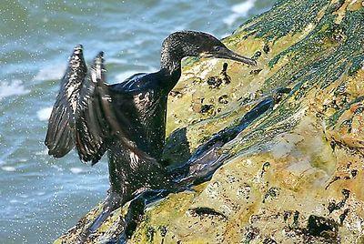 Brandt's Cormoran (Phalacrocorax penicillatus, Cormoran de Brandt, Pinselscharbe) climbing a rock, California.