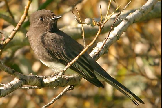 Black Phoebe (Sayornis nigricans, Moucherolle noir, Schwarzkopfphoebe) at the Neary Lagoon, California.