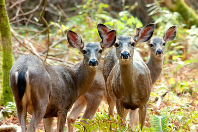 Black-tailed deer in the Big Basin State Park of California.