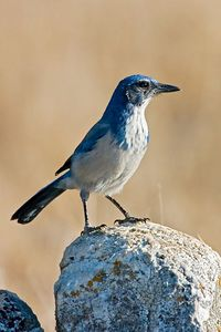 Scrub Jay on a rock, Santa Cruz, California.