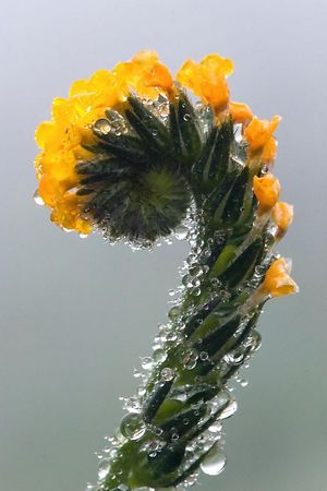 Fiddleneck (<i>Amsinckia mensiesii</i> var. <i>intermedia</i>) in the Henry W. Coe State Park, California.