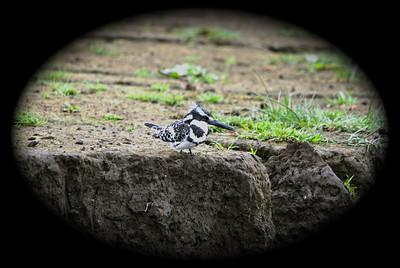 Pied Kingfisher (Ceryle rudis) Elsemere, Kenya