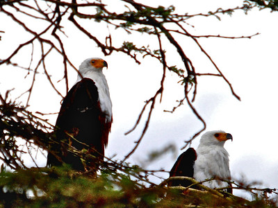Pair of African Fish Eagles (Haliaeetus vocifer) - Elsemere, Kenya