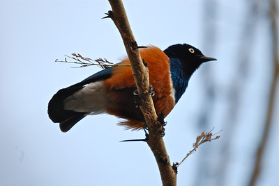 Superb Starling (Lamprotornis superbus) - Elsemere, Kenya