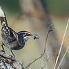 Chestnut-crowned Babbler (Pomatostomus ruficeps)