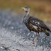 Australian Bustard enjoying some much-needed rain