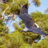 White-bellied Sea Eagle (Haliaeetus leucogaster)