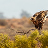 Juvenile Wedge-tailed Eagle (Aquila audax)