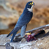 Male Peregrine Falcon Standing on Kill