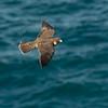 Recently Fledged Peregrine Falcon