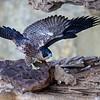 Juvenile Peregrine Falcon (Falco peregrinus)