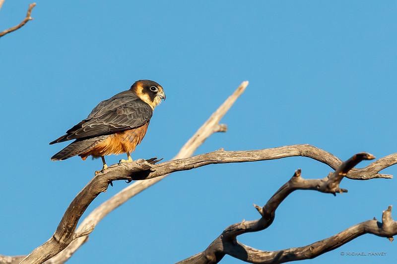 Australian Hobby (Falco longipennnis)