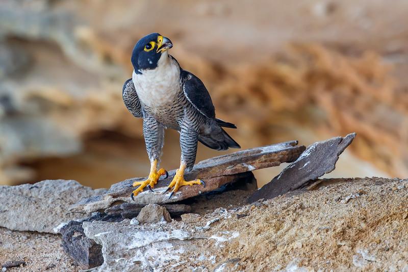Male Peregrine Falcon (Falco peregrinus)