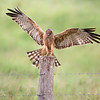 Spotted Harrier (Circus assimilis)