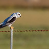 Black-shouldered Kite (Elanus axillaris)