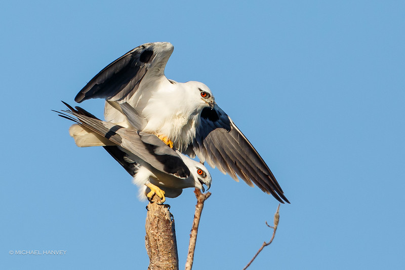 Black-shouldered Kites (Elanus axillaris)