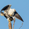Black-shouldered Kites (Elanus axillaris)
